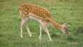 Fallow deer grazing in the corral and eating grass 71316462