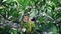 Maroon oriole, beautiful red birds feeds the baby birds. 71442429