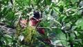 Maroon oriole, beautiful red birds feeds the baby birds. 71442432