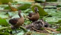 A parent and child of a lesser whistling duck playing in a pond 71487078