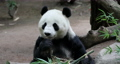 Chinese Panda Bear eating bamboo branches 4K. The giant panda black and white from mountains of central China. Few survive only a few dozen outside the country. As low as a few hundred now 3,000. 71525270