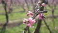Beautiful blooming peach trees in spring garden 71537742