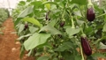 Purple eggplant fruits ripening on bushes in large commercial greenhouse. Industrial vegetables cultivation 71537745