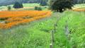 Kibana Cosmos Field and Ogawa [National Alps Azumi Park Horikin / Hotaka District] 71699492