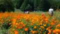 Flower field crowded with people [National Alps Azumino Park Horikin / Hotaka district] 71713900