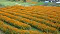 Kibana Cosmos Field [National Alps Azumi Park Horikin / Hotaka District] 71714011
