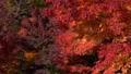 赤く染まるモミジと秋風 71751108