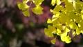 黄色く染まったイチョウと秋の日差し 71751189