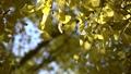 黄色く染まったイチョウと秋の日差し 71751193