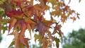 붉게 물든 나뭇잎 71917144