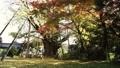 은행 나무와 붉게 물이 들기 시작한 단풍 나무 71917146