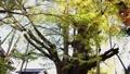 큰 은행 나무를 올려다 71917147