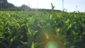 Tea plantation tilt shot 72046375