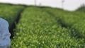 Tea plantation female pan shot 72046380