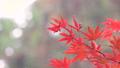 日本美麗楓葉旅行背景楓葉楓葉楓葉秋葉楓樹 72134112