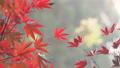 日本美麗楓葉旅行背景楓葉楓葉楓葉秋葉楓樹 72134113