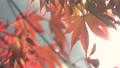 日本美麗楓葉旅行背景楓葉楓葉楓葉秋葉楓樹 72134114