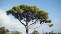 Italian stone pine or umbrella pine or parasol tree. Beautiful tree against a blue sky in the south 72204265