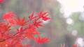 日本美麗楓葉旅行背景楓葉楓葉楓葉秋葉楓樹 72250549