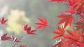 日本美麗楓葉旅行背景楓葉楓葉楓葉秋葉楓樹 72250550