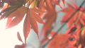 日本美麗楓葉旅行背景楓葉楓葉楓葉秋葉楓樹 72250551