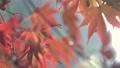 日本美麗楓葉旅行背景楓葉楓葉楓葉秋葉楓樹 72250552