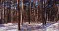 Panorama of coniferous forest in winter. 72303918