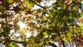 輝く太陽の下で揺れ動く秋の美しい紅葉とそよ風 72419104