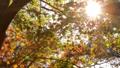太陽の光の下で美しく咲く秋のオレンジ色の紅葉とそよ風 72419106