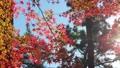 輝く太陽の下で揺れ動く秋の美しい紅葉とそよ風 72419145