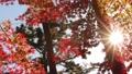 輝く太陽の下で揺れ動く秋の美しい紅葉の葉っぱとそよ風 72419147