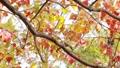輝く太陽の下で揺れ動く秋の美しい紅葉とそよ風 72419148
