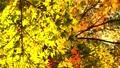 輝く太陽の下で揺れ動く秋の美しい紅葉とそよ風と青春 72419149