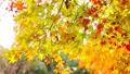 輝く太陽の下で揺れ動く秋の美しい黄金の紅葉とそよ風 72419150