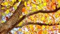 太陽の光の下で美しく咲く秋のオレンジ色の紅葉とそよ風 72419162