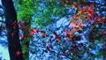 昼過ぎに撮影した風で揺れる森林の中の美しいカエデ 72419299
