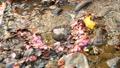 流れる小川の上に浮かぶ枯れた落ち葉とピンクの花びらと水の流れ 72419301