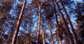 Panorama of a coniferous forest on a sunny day. 72463137