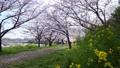 櫻花花瓣散落在風中 72478926