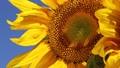 Sunflower closeup 72652501