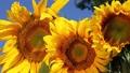 Three sunflowers 72652502