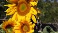 Three sunflowers 72652590