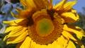 Sunflower closeup 72652592