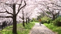 Spring scenery, cherry blossom trees in full bloom 72887576