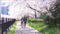 Spring scenery, couple walking along the cherry blossom trees in full bloom, image background 72887578