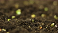 Time lapse of vegetable seeds growing or sprouting from the ground. 72966979