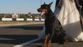 A Doberman dog sits on the roadway next to a bride in a wedding dress. 72968446