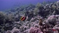 Pair of Bannerfish and pair of Butterflyfish stand under coral reef. Red Sea. Egypt FullHD 72971501