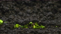 Close-up microgreens grow in time-lapse, growing green plants timelapse, sprouts germination newborn salad in greenhouse agriculture. Plant growth in rapid, speed up. Macro view of natural process 72972981