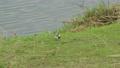 川のそばでエサを探すハクセキレイ 11月 73039717